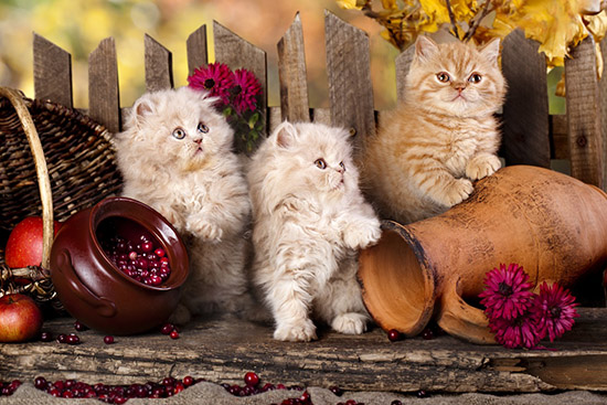 01-15 Would the Persian cat suit your lifestyle Would the Persian cat suit your lifestyle 01 15