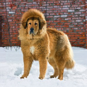 shutterstock_73331563-300x300 World's 10 most expensive dog breeds World's 10 most expensive dog breeds shutterstock 73331563  1