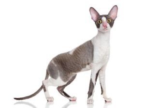 Bi-coloured Cornish Rex  Breed profile: Cornish Rex Breed profile: Cornish Rex cornish bi colour
