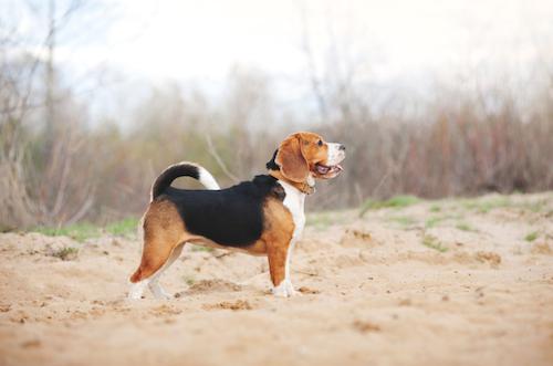 Beagle Beagle The Beagle Beagle