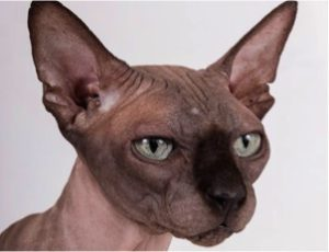 Best for male: Grand Sphynx Onyx