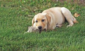 Puppy rocks Why do dogs chew rocks? Why do dogs chew rocks? Puppy rocks