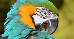 A parrot in moulting will preen himself much more than usual