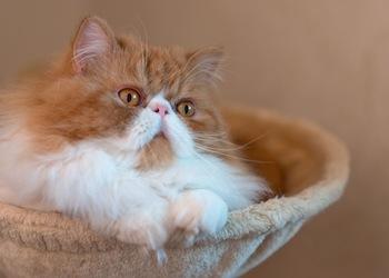Persians make great apartment cats