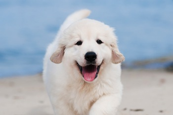 This dog is happy to see you. His tail is wagging, he is panting and he looks relaxed