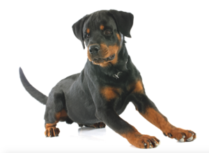 Screen Shot 2015-08-25 at 9.37.06 AM Rottweiler The Rottweiler Screen Shot 2015 08 25 at 9