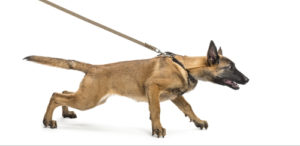 Rather walk a dog who pulls on a harness instead of a collar walking Dog walking tips shutterstock 117855919