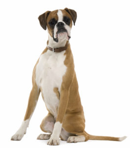 shutterstock_56137516 Breed profile: The Boxer Breed profile: The Boxer shutterstock 56137516