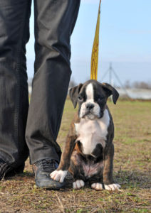Well-socialised puppies will be more confident in public for the rest of their lives walking Dog walking tips shutterstock 98602610