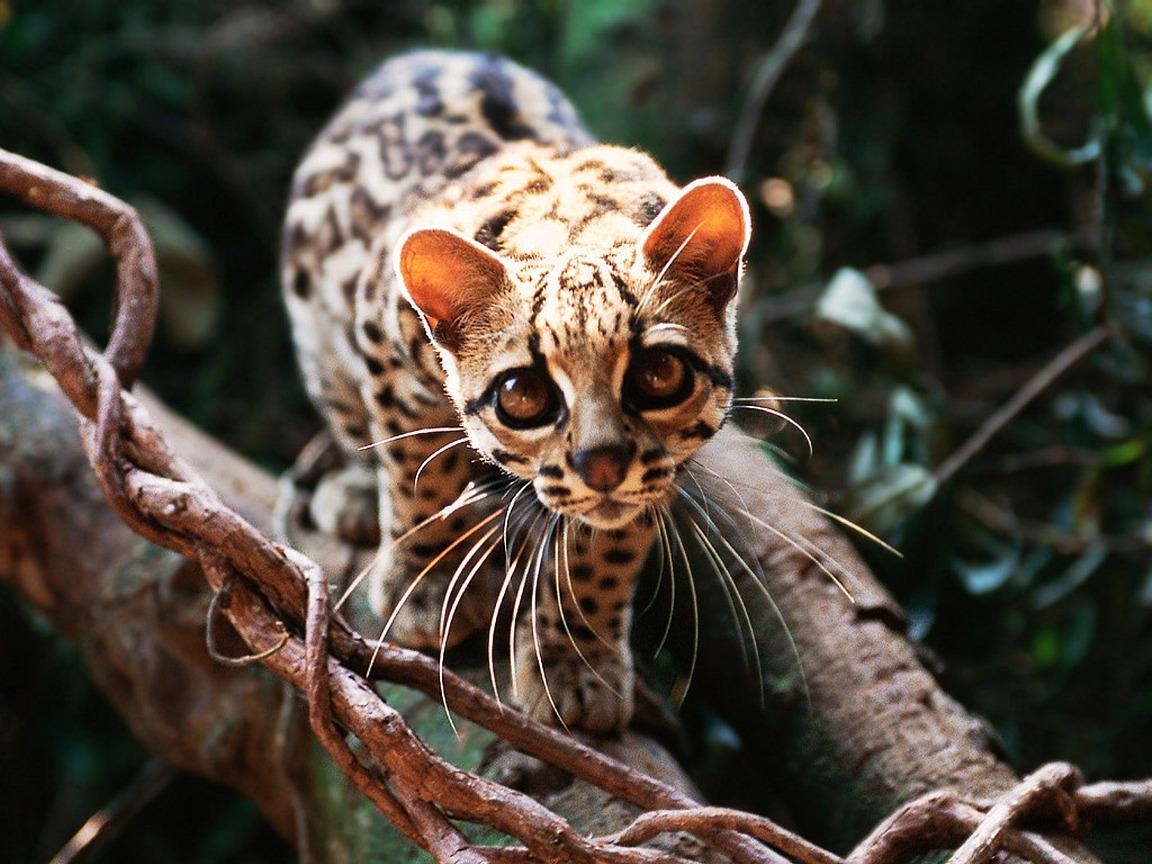margay2 Wild cat: The Margay Wild cat: The Margay margay2