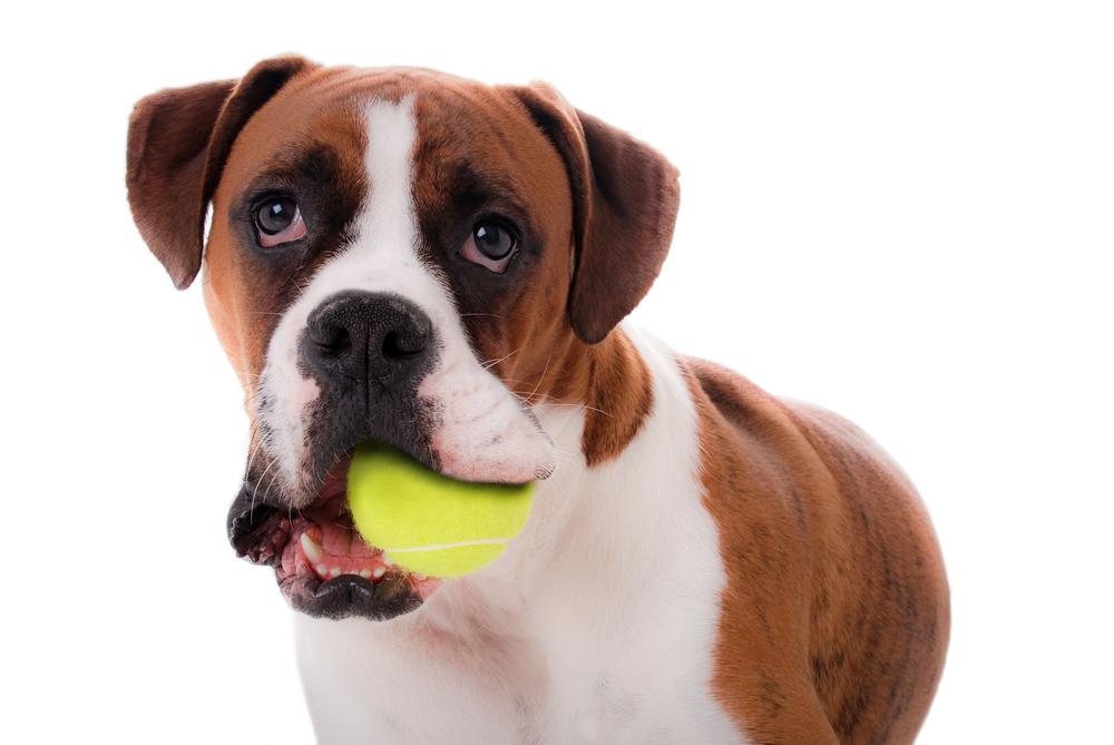 Brown dog Manipulating mutts Manipulating mutts shutterstock 66585328
