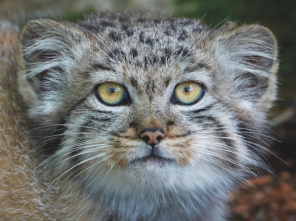 Pallas The Pallas' cat The Pallas' cat Pallas