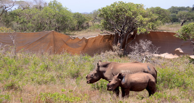 Pic 8: Mother and calf in the temporary boma on the Western Shores of iSimangaliso's Lake St Lucia. Both are in a class three condition, but were already eating good grass as they came out the crates. These were the first two rhino to be translocated.   