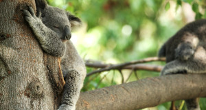 The koala loves to sleep!
