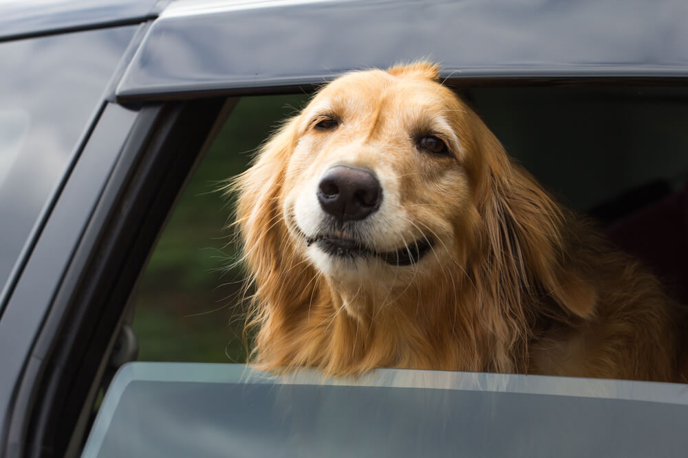 Safety first!  Treat pets like human passengers in your vehicle dog in car
