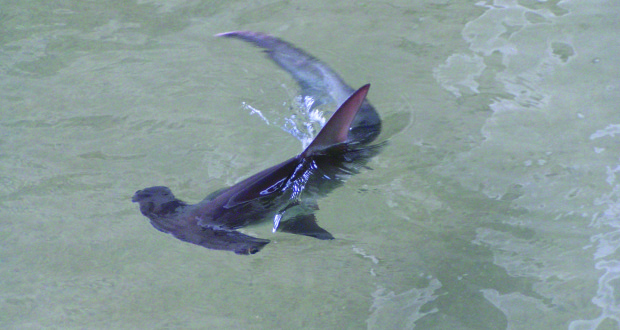 One of nature's unique creations - the hammerhead shark