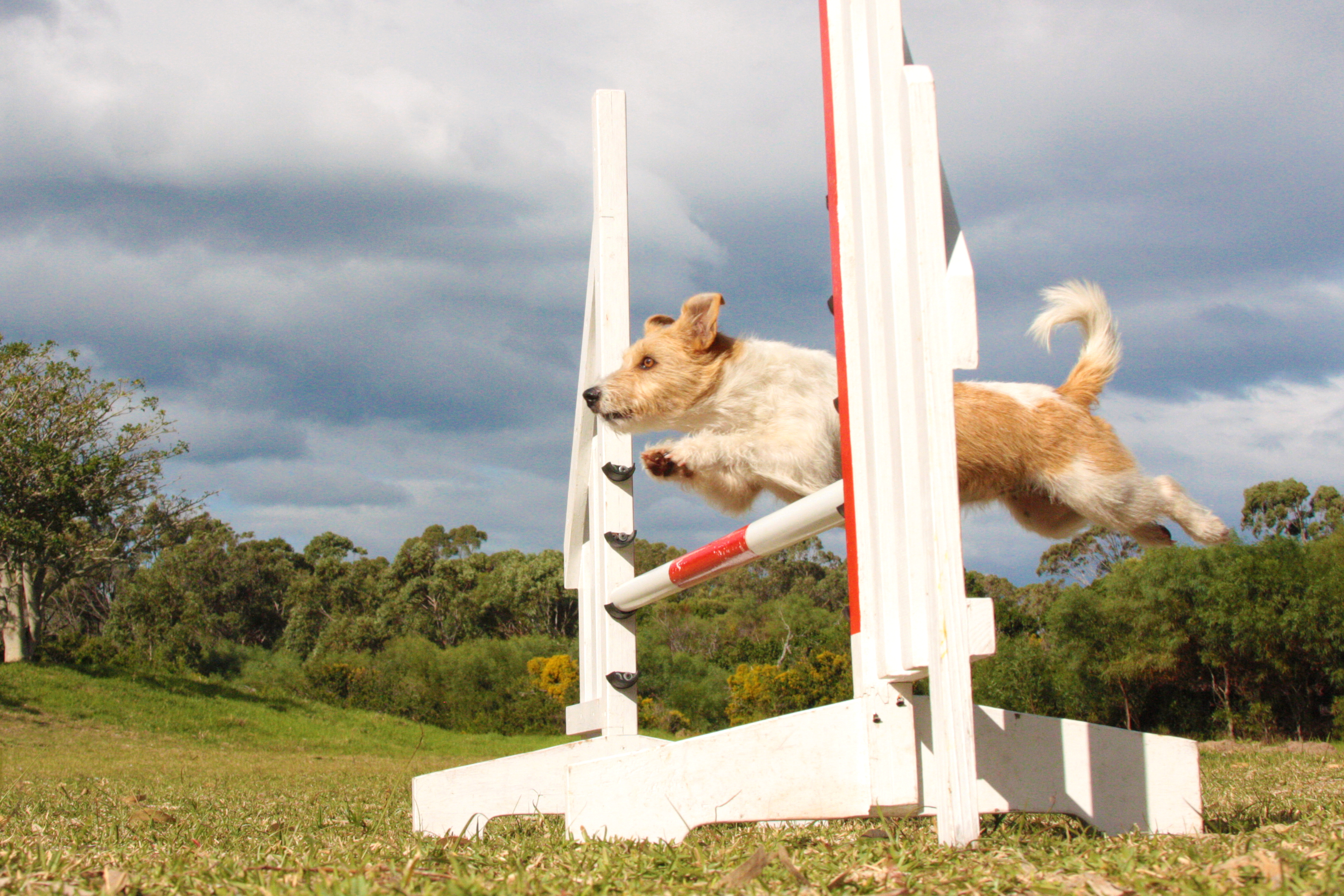 Brandi showing off her agility skills. Animaltalk Top Dog Awards - meet the agility winners! Animaltalk Top Dog Awards - meet the agility winners! Brandi