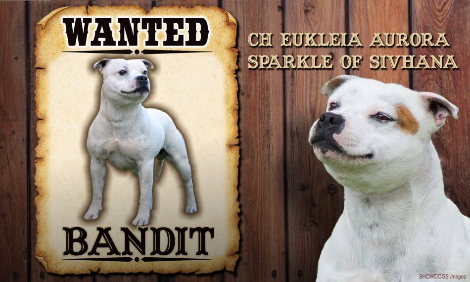 CH. & INT. CH EUKLEIA AURORA SPARKLE OF SIVHANA, also known as Bandit  Meet South Africa's top show dogs Meet South Africa's top show dogs show dog
