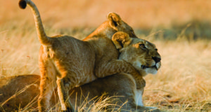 The time has come to speak up for South Africa's lions.