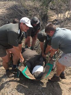 Jemu being carried to helicopter by Dr. Markus Hofmeyr (vet), Don English (Regional Section Ranger, KNP), Grant Knight (helicopter pilot) and Louis Strauss (General Manager, Jock Safari Lodge, KNP) for her transfer to CFW (Care for Wild) Rhino Sanctuary