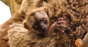 A baby brown lemur