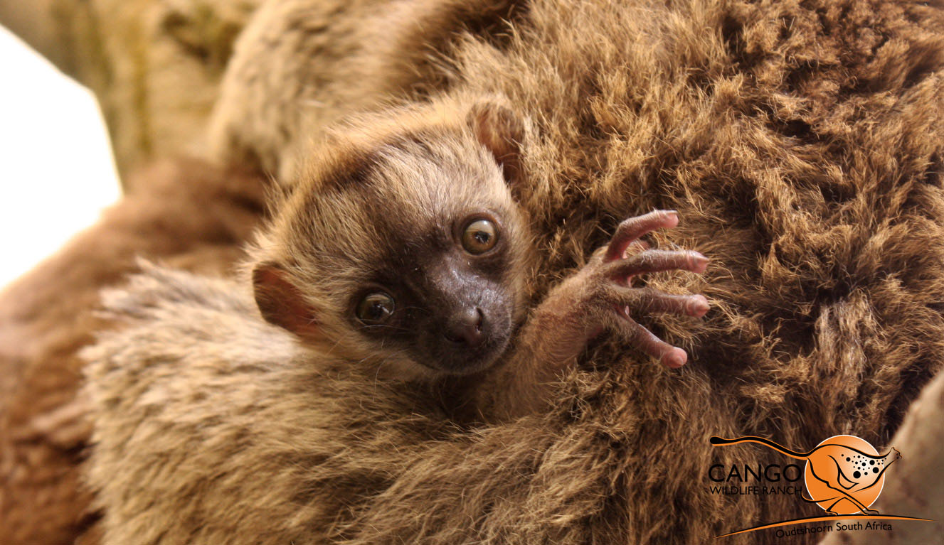 A baby brown lemur