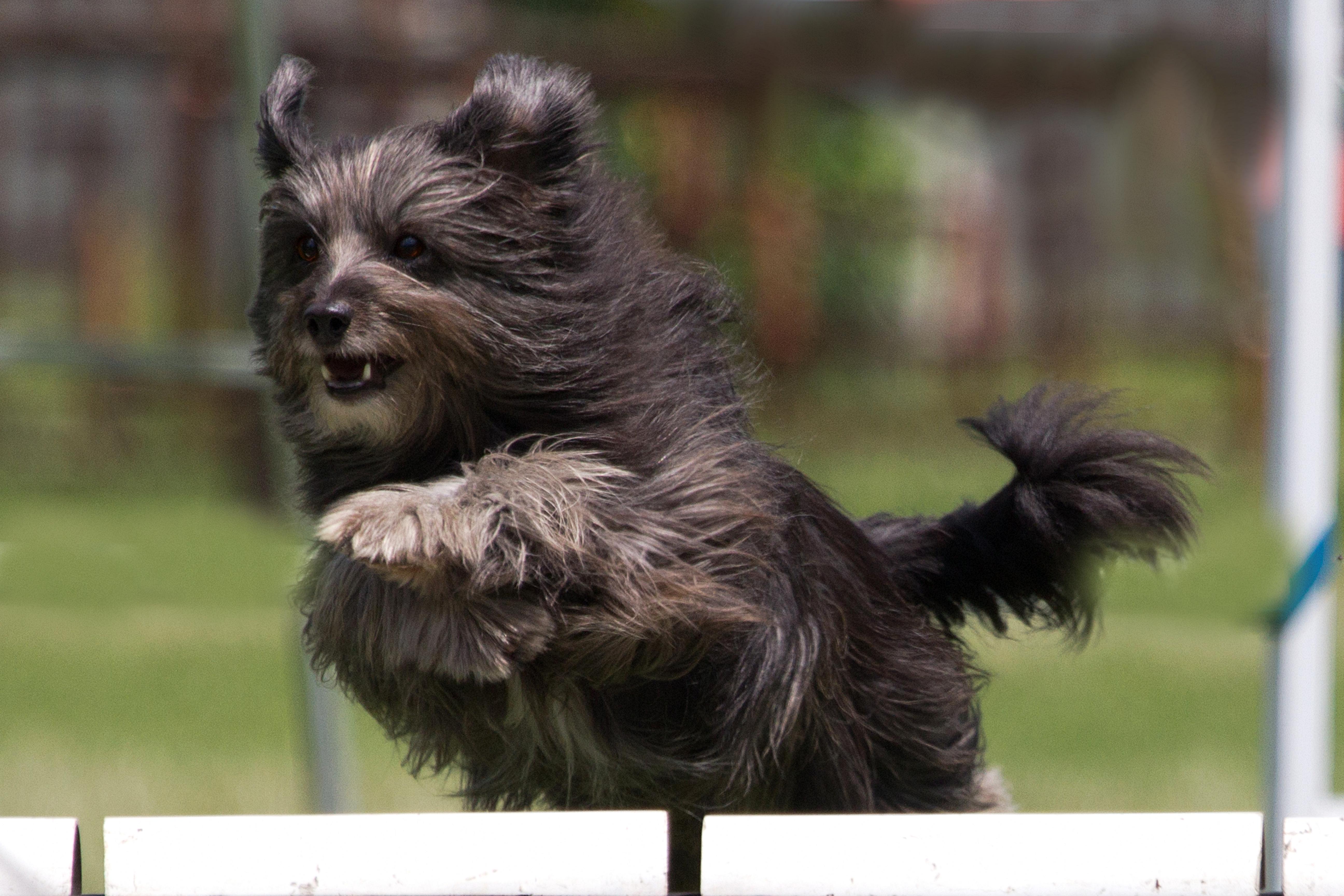 Animaltalk Top Dog Awards - meet the agility champs! Animaltalk Top Dog Awards - meet the agility champs! Lollie