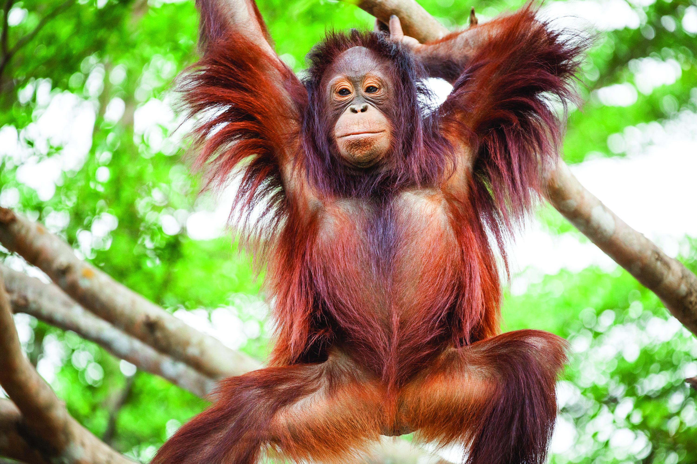 Forest man - the orangutan Forest man - the orangutan shutterstock 252587524