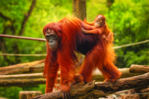 Forest man - the orangutan Forest man - the orangutan shutterstock 311420567
