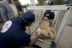 Incredible rescue effort for animals in Iraqi zoo Incredible rescue effort for animals in Iraqi zoo leeu