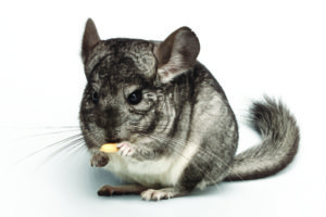 The Chinchilla The Chinchilla shutterstock 279584945