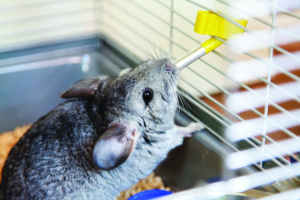The Chinchilla The Chinchilla shutterstock 297310043