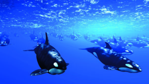 10 Cool things about the killer whale 10 Cool things about the killer whale Killer Whale 4