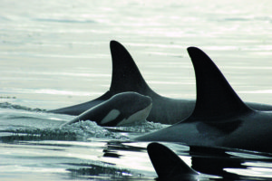 10 Cool things about the killer whale 10 Cool things about the killer whale Killer Whale2