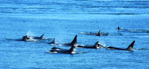 10 Cool things about the killer whale 10 Cool things about the killer whale Killer whale1