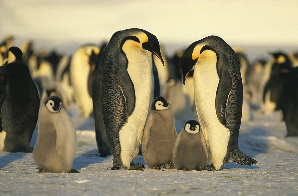 10 cool things about penguins Penguins