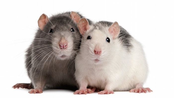 Q & A: What size cage is best for your rat? maxresdefault