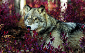10 Cool things about the grey wolf shutterstock 103912877