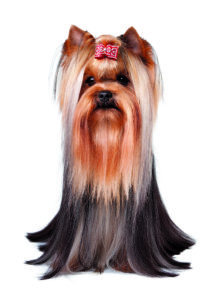 Breed profile:The Yorkshire Terrier shutterstock 105022412 copy