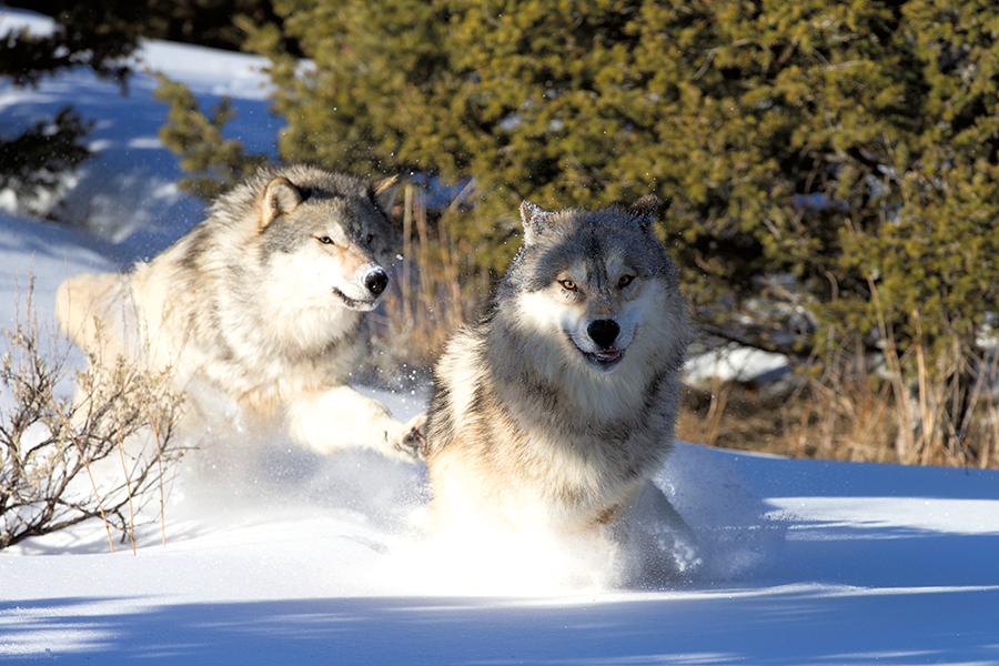 10 Cool things about the grey wolf shutterstock 130600247