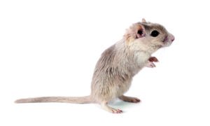 Q & A: My three-year-old pet gerbil recently started to become 'wobbly'. She also shakes at times and seems unwell. What could be the reason? Q & A: My three-year-old pet gerbil recently started to become 'wobbly'. She also shakes at times and seems unwell. What could be the reason? shutterstock 134712926