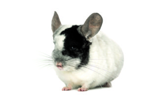 5 Things you should do for your chinchilla shutterstock 201338750