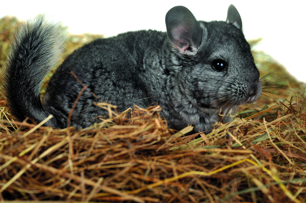 5 Things you should do for your chinchilla shutterstock 41428393
