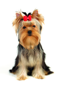 Breed profile:The Yorkshire Terrier shutterstock 54861532