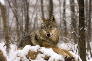 10 Cool things about the grey wolf shutterstock 67573531