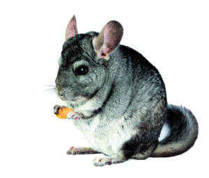 5 Things you should do for your chinchilla shutterstock 73518769