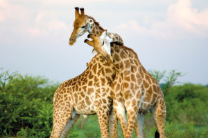 10 cool things about giraffes cool