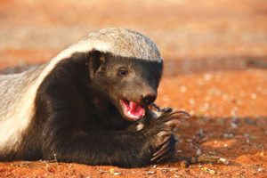 10 Cool things about the honey badger cool