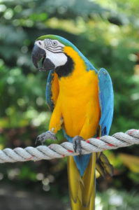 Can parrots be infected by viruses, bacteria or parasites affecting wild birds? shutterstock 55080817