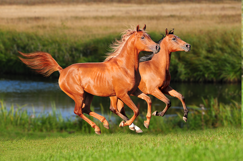 Q & A: What causes laminitis in ponies and how can it be prevented and treated? Q & A: What causes laminitis in ponies and how can it be prevented and treated? Vet